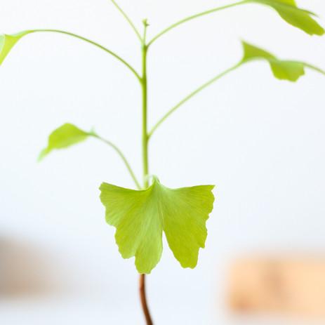 Ginkgo leaf close-up