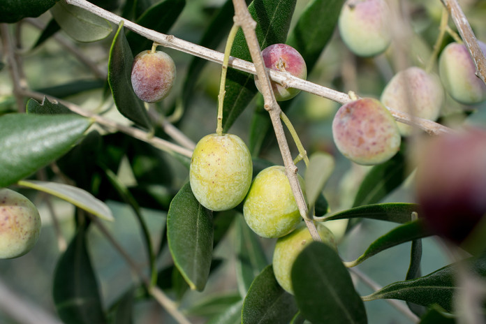 Olive branch close-up