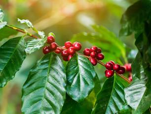 Internationale koffiedag: de koffieplant in het zonnetje
