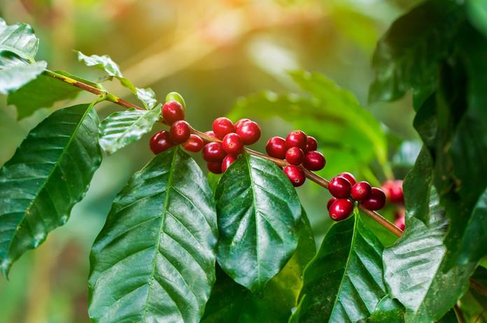 Coffee red berries