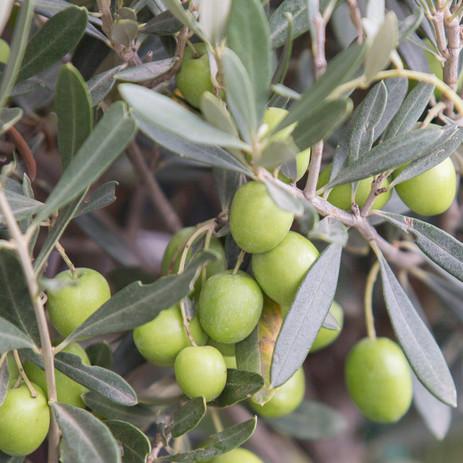 Olives on branch close-up