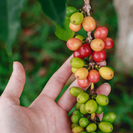 Ripening coffee berries