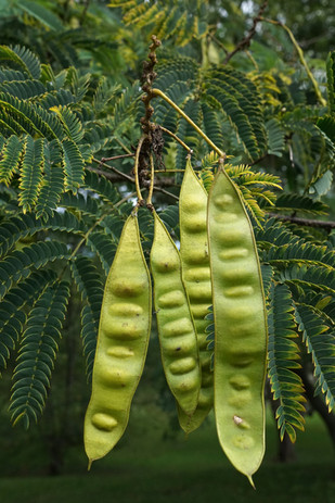 Albizia seed pods