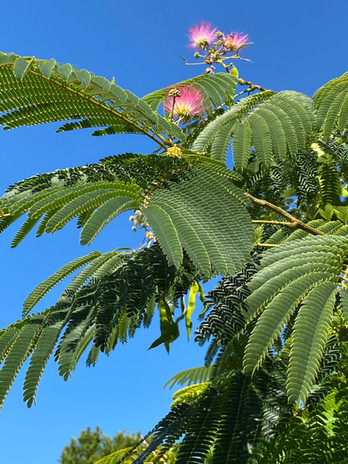 Albizia leaves and flowers