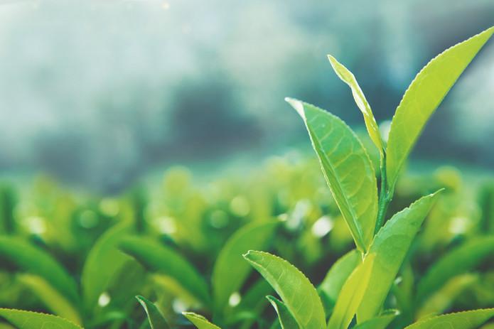 Tea leaves in sun