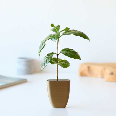 Coffee plant in letterbox pot