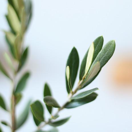 Olive leaves close-up