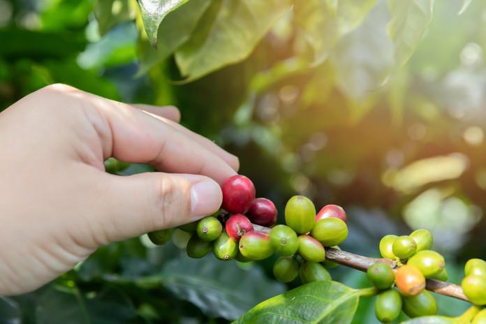Picking coffee berries