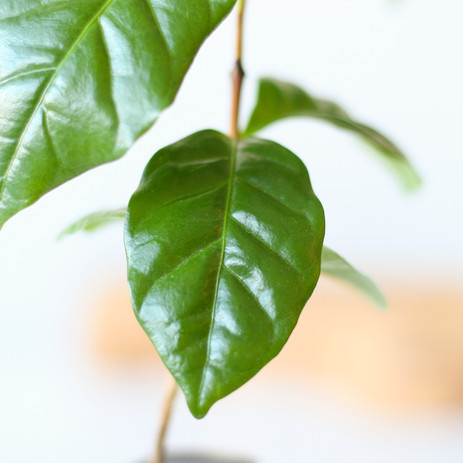 Coffee plant close-up of leaf