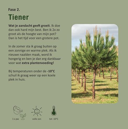 Pinus_tiener.png