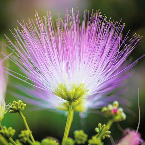 Albizia flower close-up