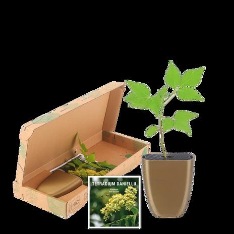 Bee-bee tree in letterbox packaging
