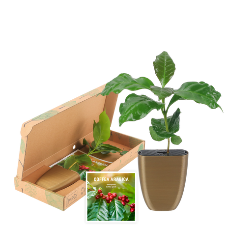 Coffee plant in letterbox packaging