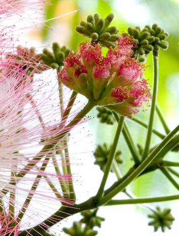 Albizia flower opening up