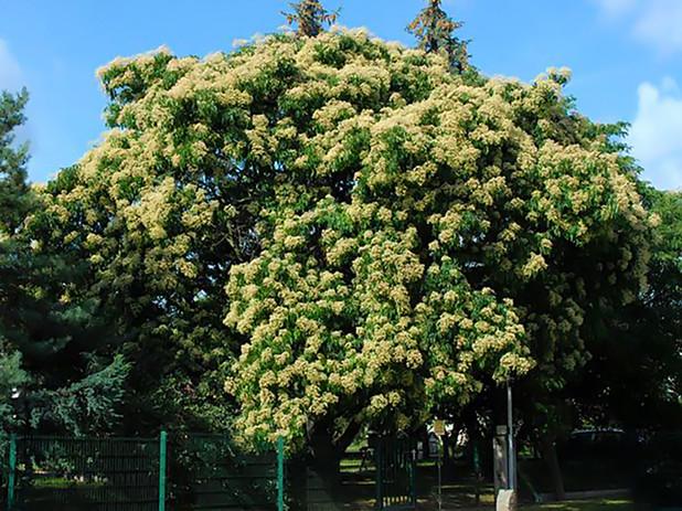 Bee-bee tree in bloom