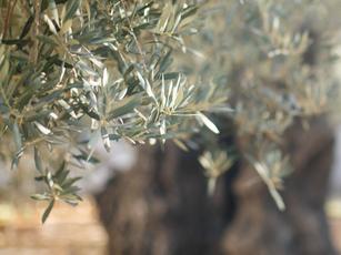 Een ode aan de olijf(boom)