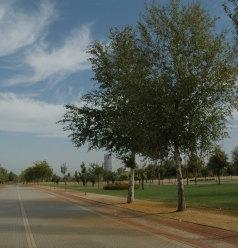 parque-vega-de-triana-populus-alba.jpg