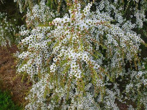 Leptospermum flavescens 'Cardwell' – Tea Tree