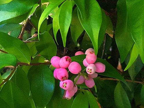 Lilli Pilli - Syzygium luehmannii