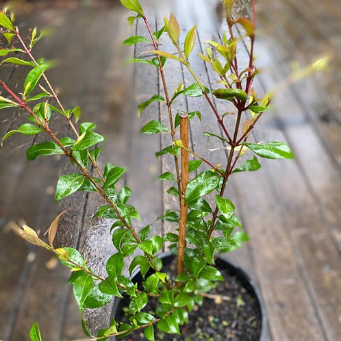 Cinnamon Myrtle - Backhousia myrtifolia