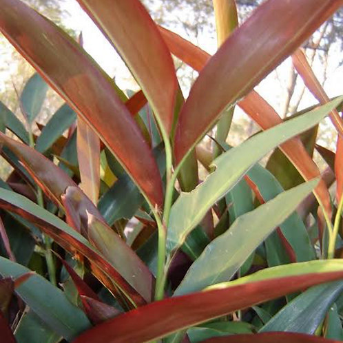 Native ginger (Red back) - Alpinia caerulea