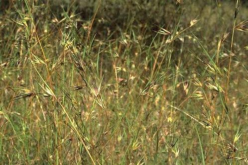 Themeda australis – Kangaroo Grass