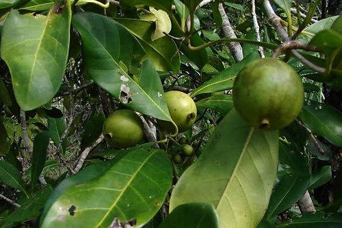 Atractocarpus fitzalanii - Native gardenia