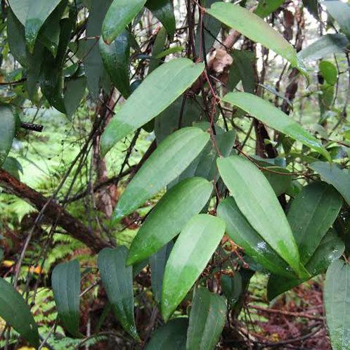 Sarsaparilla - Smilax glyciphylla