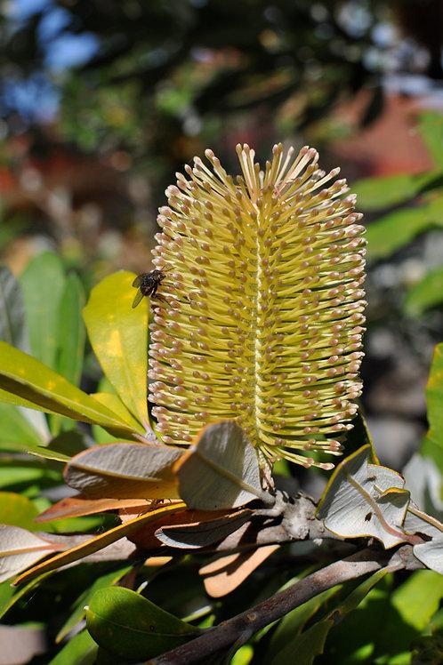 Coastal Banksia - Banksia integrifolia