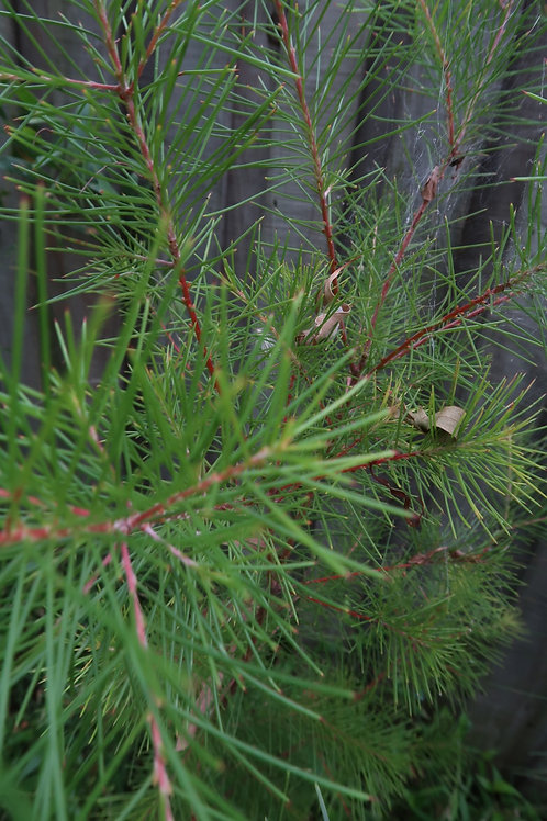 Pine Leaf Geebung - Personnia Pinifolia