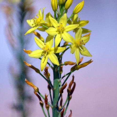Wild Native Leek - Bulbine bulbosa (Bulbine Lily)