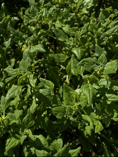 Warigal Green - Tetragonia tetragonoides