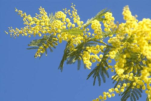 Acacia terminalis - Sunshine Wattle