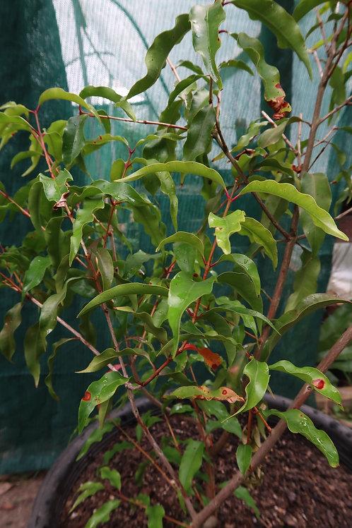 Aniseed myrtle - Syzygium anisatum