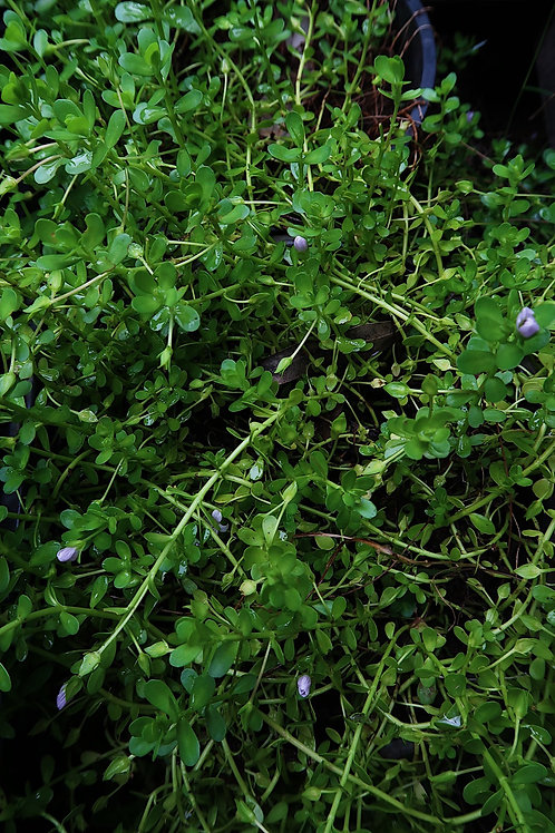 Memory Herb - Bacopa monniera (Brahmi)