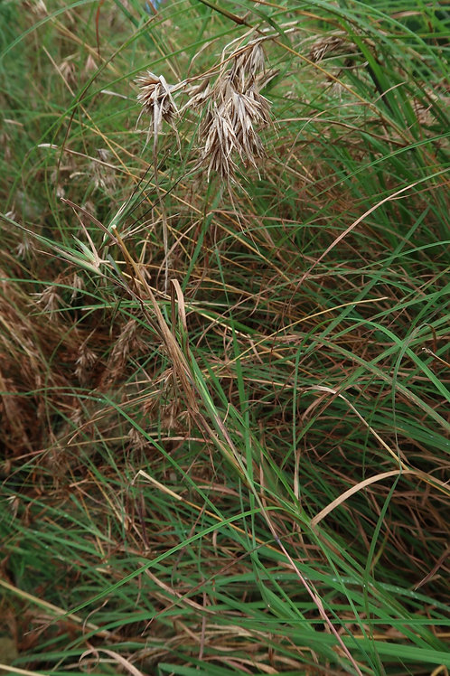Weeping Grass - Microlena stipoides