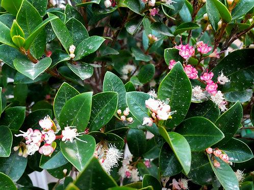 Lilli Pilli - Syzygium australe