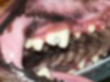 Restauração em dentes de animais, restauração de dentes de cães,  restauração de dentes de cães em bh,
