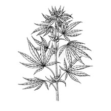 marijuana-plant-vector-drawing-cannabis-