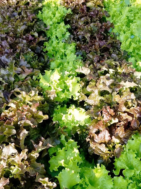 Red and Green Leafy Lettuce