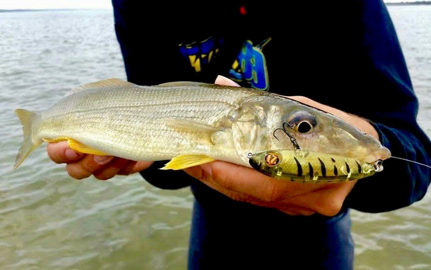 Yellowfin Whiting caught on surface lure in WA by Joel Knighton