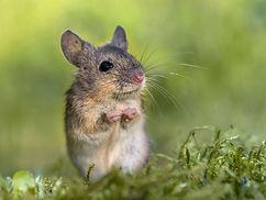 7-raton-posando-de-pie.jpg