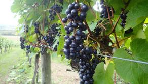 Yamasachi, the 3rd Japanese Native Grape Variety Approved by O.I.V.