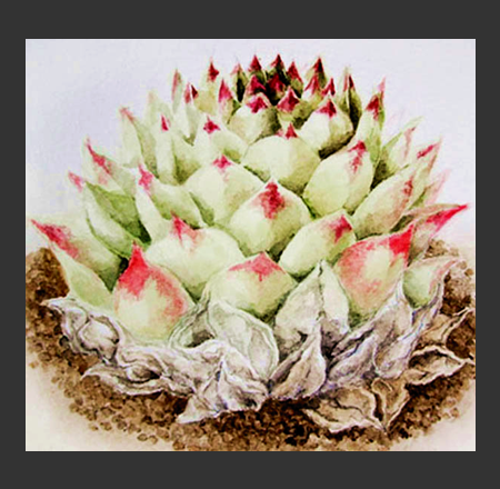Succulent Hybrid