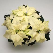 wintersun white.png