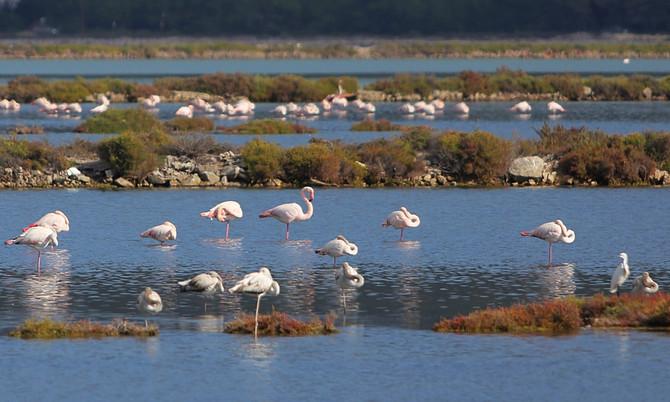 Die Flamingos von Ibiza sind zurück