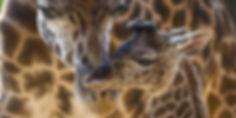 Giraffes_SDzoo_1280x642.jpg