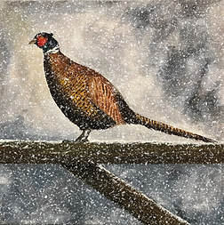 Pheasant in Winter - heavy snow.png