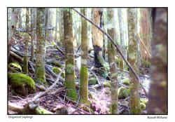 McKane - Dogwood Sapplings