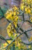 Sophora tetrapter.jpg
